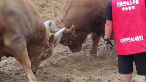 South Korea Bull Fight Tournament