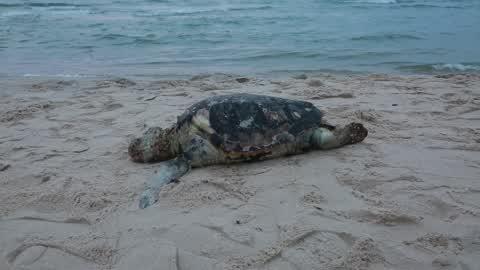Dead Tortoise In Gaza