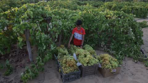 Vineyard Harvest Season In Gaza