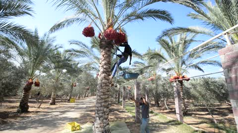 Palestinian farmer harvests dates from a palm tree