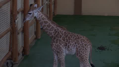 Two months old baby giraffe in an Ukrainia's zoo