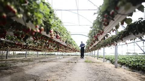 Strawberry Harvester In Gaza